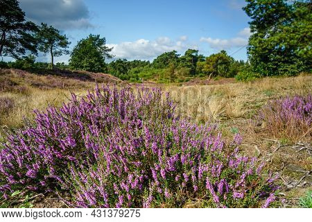Flowering Calluna Vulgaris (common Heather, Ling, Or Simply Heather) Under Blue Sky And White Fluffy
