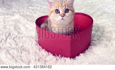 Little Red Ginger Striped Kitten Sitting In Red Heart Shaped Gift Box. British Chinchilla Cat. Adora