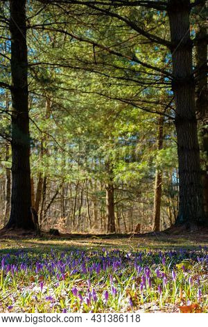 Forest Nature Background In Spring. Crocus Flowers On The Glade. Trees In The Blurred Distance. Sunn