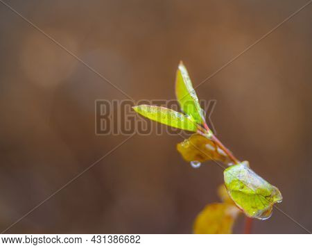 Early Spring Branch Of Shrub And Tiny Green Wet Leaf In A Rainy Day Early Spring, Close Up