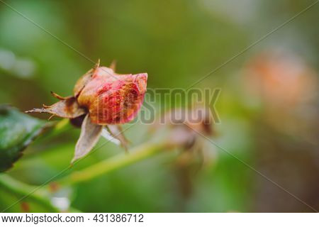 Fading Autumn Rose. Faded Roses In Garden. Rose On Unfocused Background On Warm Autumn Rainy Day