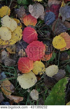 Fallen Aspen Leaves In Autumn. Colorful Background.