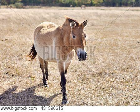 Przewalskis Wild Horse Running In Virgin Steppes