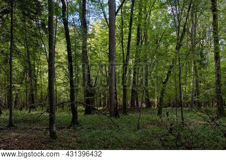 Deciduous Stand With Hornbeams And Oak In Autumn, Bialowieza Forest, Belarus, Europe