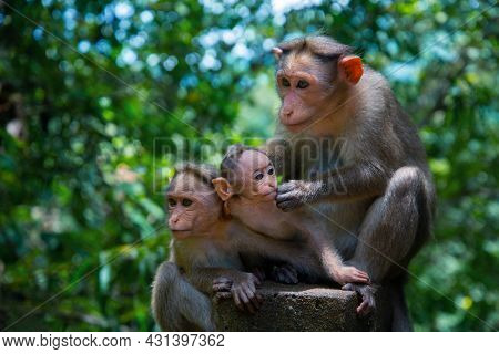 The Mother Monkey And Her Two Baby Monkeys Are Sitting On A Stone On A Green Background, Animal Phot