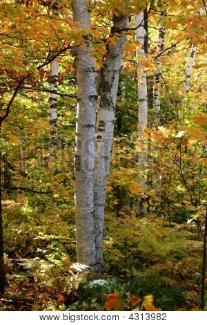 White Birch During Autumn