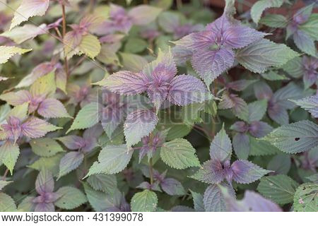 Close Up Vietnamese Perilla Frutescens Leaves And Stems From Organic Herb Garden In Texas, Usa