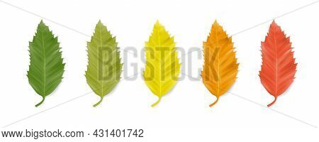 Leaf Of Hackberry (celtis Australis). Row Of Leaves Of Green, Light Green, Yellow, Orange And Red Is