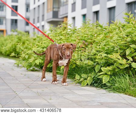 Sad And Lonely American Pitbull Terrier On Red Leash Walking Near Green Bushes With Anonymous Pet Ow