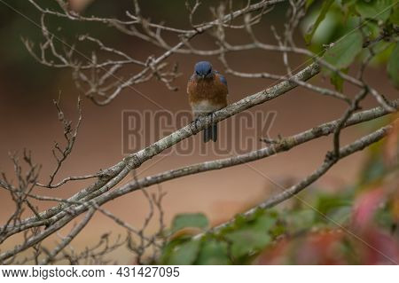 An Angry Looking Bluebird Perched On A Tree Limb Starring Closeup View
