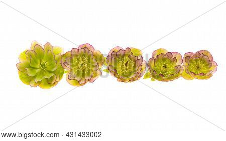 Green Hellebore Flower Isolated On White Background