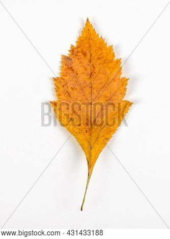Autumnal Leaf On The White Background Closeup