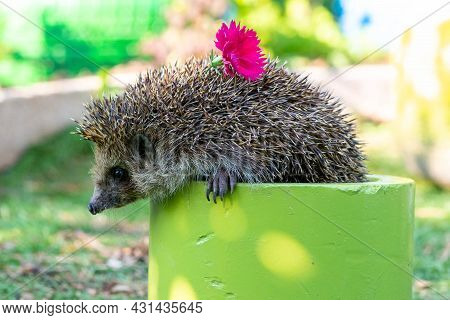 A Hedgehog With A Flower Climbs Out Of A Basket