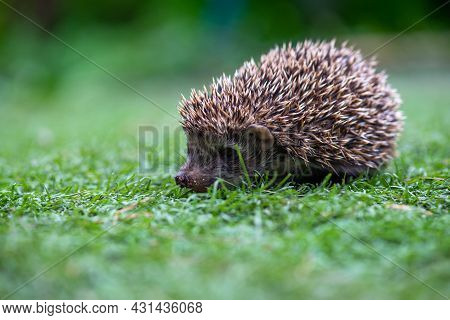 Curious Spiny Hedgehog Sitting In A Clearing