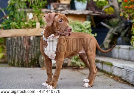 Charming Brown American Pitbull Terrier Puppy With Funny Snout Looking Around In Park Cranny. Concep