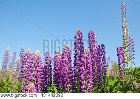 Beautiful Lupins In Summer. Purple Flowers And Blue Sky. Bright Flowers.