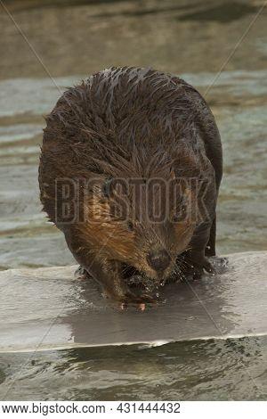 The Eurasian Beaver (castor Fiber)  In Zoo.