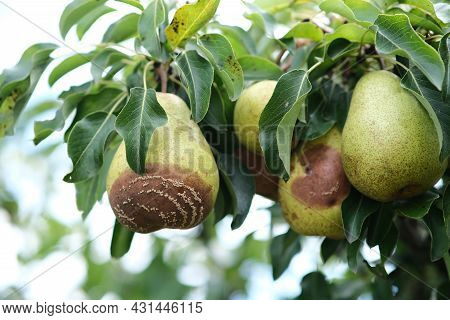 Rotting Pears On The Tree. Pears Rot From The Worm. Rotten Fruit. Pear Disease.