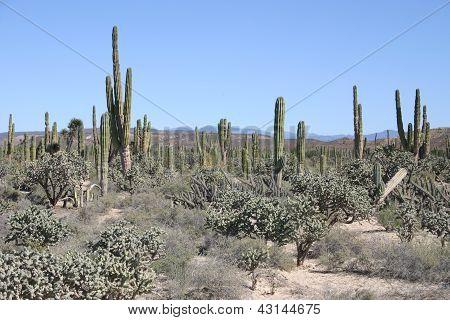 Baja desert with cactus