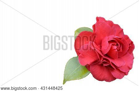 Isolated Incredible Beautiful Red Camellia - Camellia Japonica Flower With Leaves, Known As Common C
