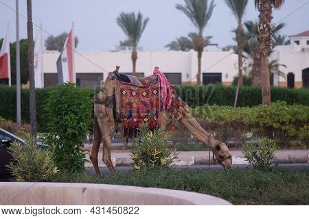 A Camel Eats Grass. A Camel In National Egyptian Clothes On The Territory Of The Hotel.