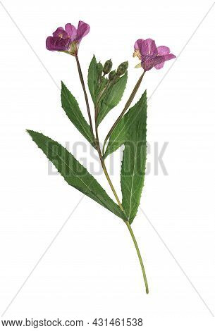 Pressed And Dried Delicate Lilac Flowers Fireweed (epilobium Collinum) On Stem With Green Leaves. Is