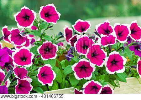 Petunia Cascadias Rim Cherry Flowers. Bright Petunia, Flowering Is Very Abundant. The Plant Forms A