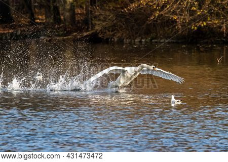 The Mute Swan, Cygnus Olor Is A Species Of Swan And A Member Of The Waterfowl Family Anatidae.