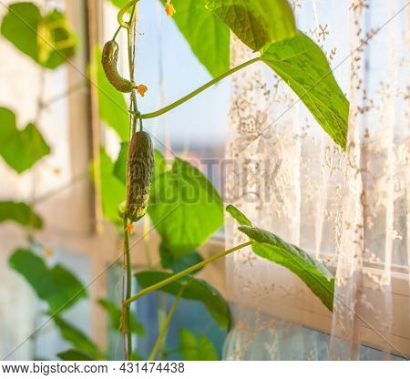 Green Young Cucumber With Yellow Flower. Gardening Background With Mini Cucumber Plant In Greenhouse