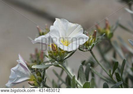 Shrubby Bindweed - Latin Name - Convolvulus Cneorum