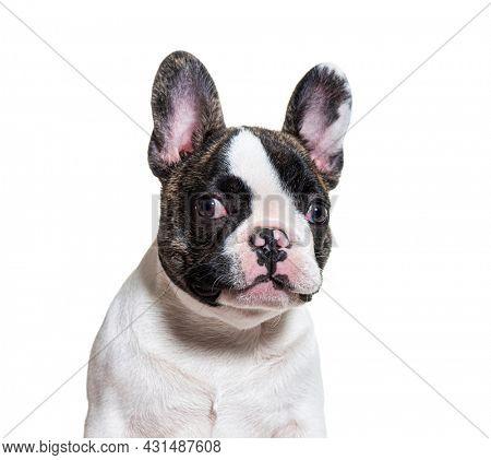 Head shot of a three months old puppy french bulldog facing at camera