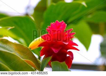 A Bright Flower Of A Flowering Pineapple In The Rainforest