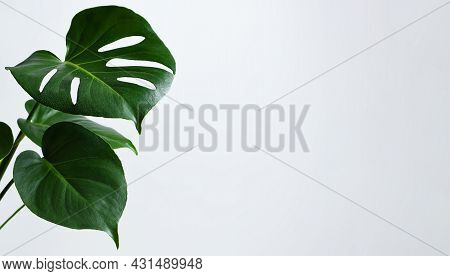 Beautiful Monstera Leaves Or Swiss Cheese Plant On A Gray Background. Monstera In A Modern Interior.