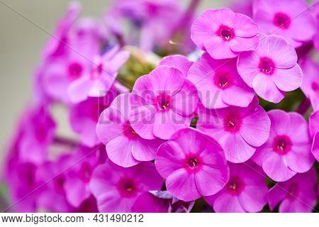 Beautiful Pink Flowers Fall-pink, Summer Phlox, Sweet-william, Perennials Phlox