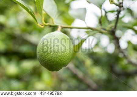 Lime Fruit Growing On Tree. Selective Focus
