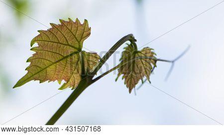 Grape Leaves. Fresh Green Grape Leaf. Grapevine, Tender Young Leaf. Green Vine Leaves. Growing In Th