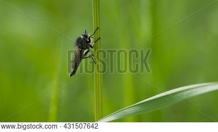 Tolmerus Cingulatus. Robber Fly, Asilidae, Natural Background. Machimus Cingulatus. Predator Insect