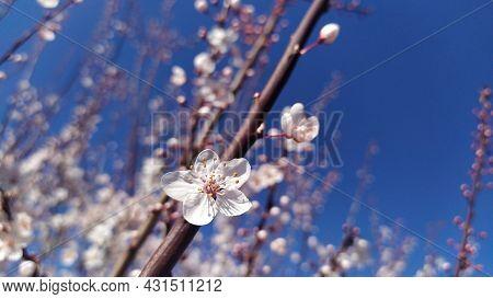 Cherry Blossom Flowers, Genus Prunus Or Prunus Cerasus