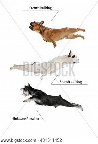 Three Beautiful Cute Purebred Dogs Flying Isolated Over White Studio Background. Set Of Small Doggie