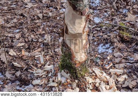 Beaver Teeth Marks On Trees. Beavers Nibbled The Trunk Of A Tree. Trees In The Forest In Winter.