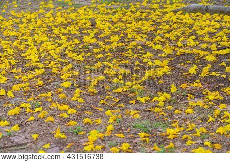 A Golden Trumpet Tree (other Name Is Handroanthus Chrysotrichus) Leaves Falling On The Ground. Golde