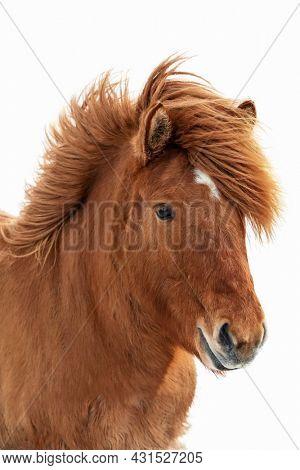 Chestnut Icelandic horse, islenski hesturinn, isolated on white background. Close up of face and mane.