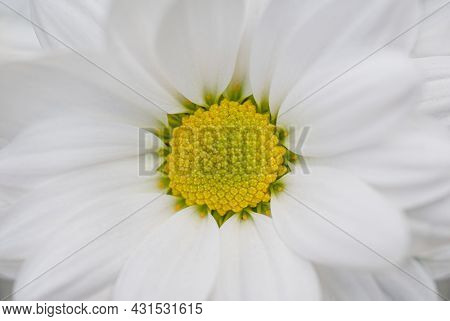 A white  daisy flower blooming. Flat lay, top view.
