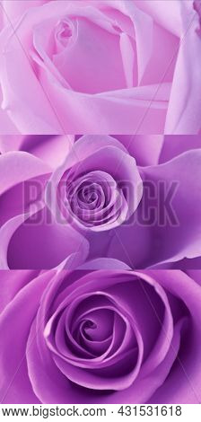 Set of Buds of lilac rose close-up.Focus on senter and on the edges of petals of the bud. Purple roses petals.