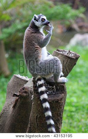 licking lemur