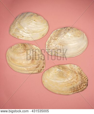 Common Pearl Mussel Or European River Pearl Mussel (lat.margaritifera). Bivalve Mollusk From The Ord