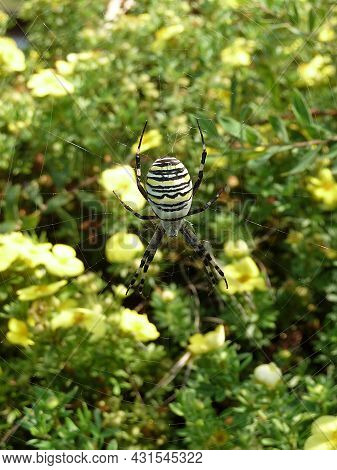A Big Wasp Spider Is Hanging In The Spider Net