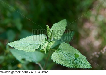 A Fresh Lemon Balm Plant With Green Leaves