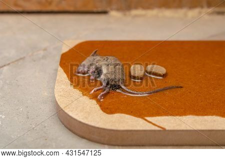 A Mouse Or Rat Is Caught In A Glue Trap With Cookies As Bait. Glue For Catching Rodents Or Small Pes