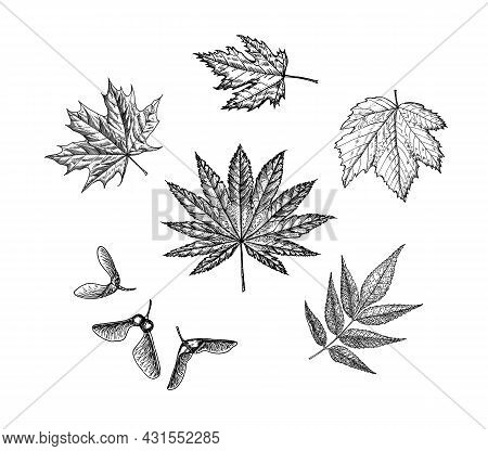 Maple Leaf. Autumn Leaves In A Sketch Style. Vector Illustration Isolated On White Background. Vinta